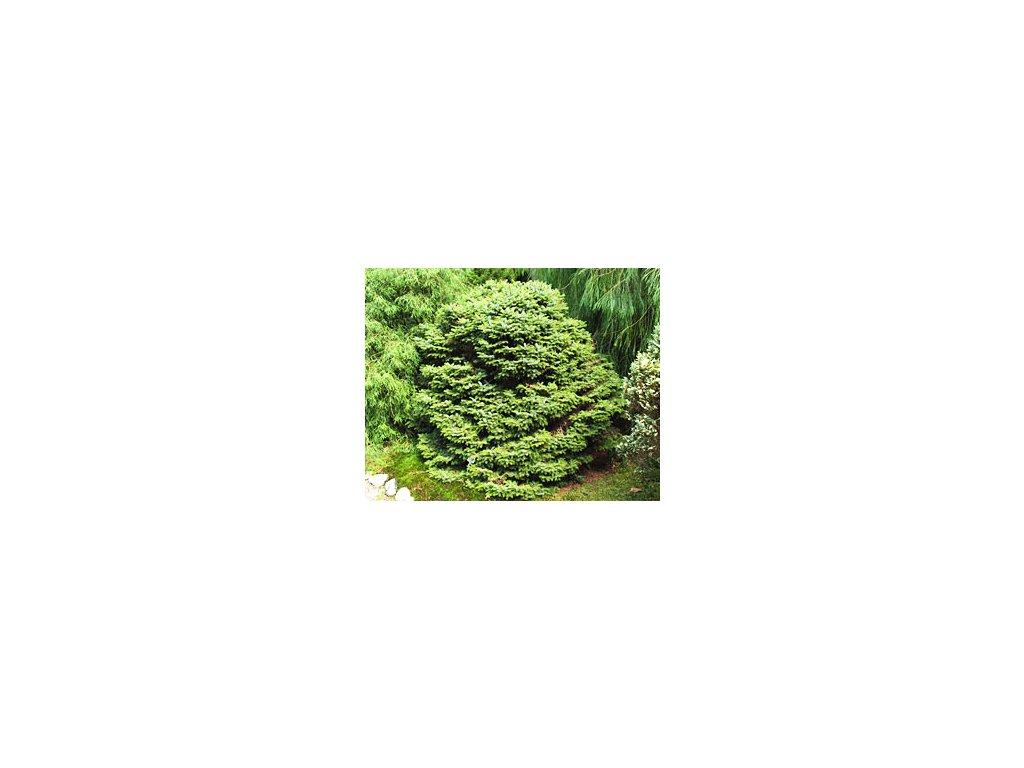 Picea omorika ´Nana´  Smrk omorika ´Nana´