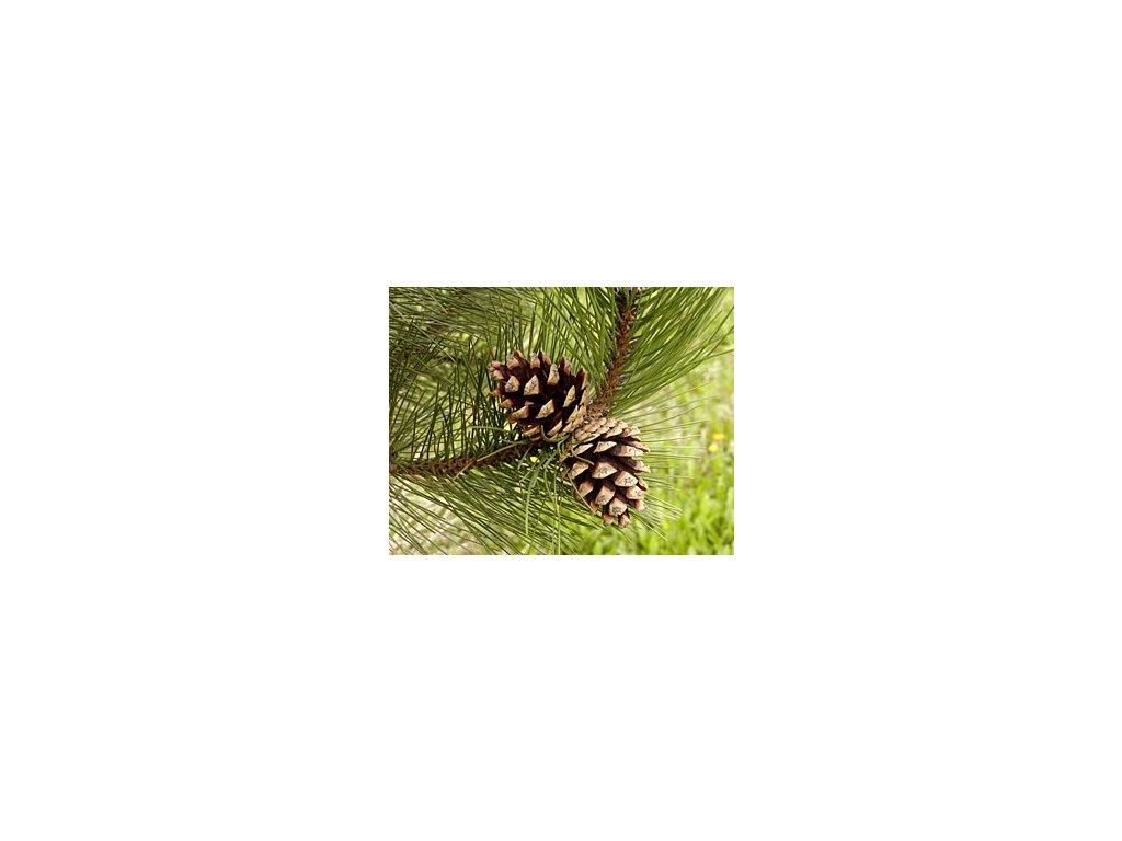 Pinus nigra 25 - 35 cm  Borovice černá