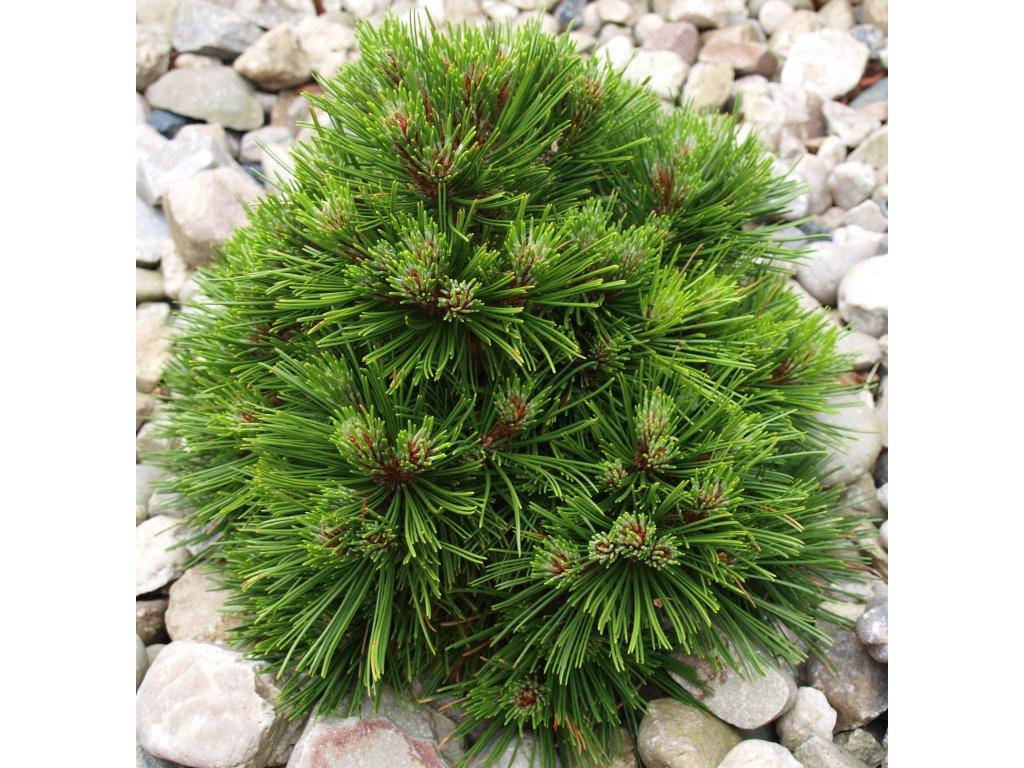 Pinus mugo Benjamin  Borovice kleč Benjamin