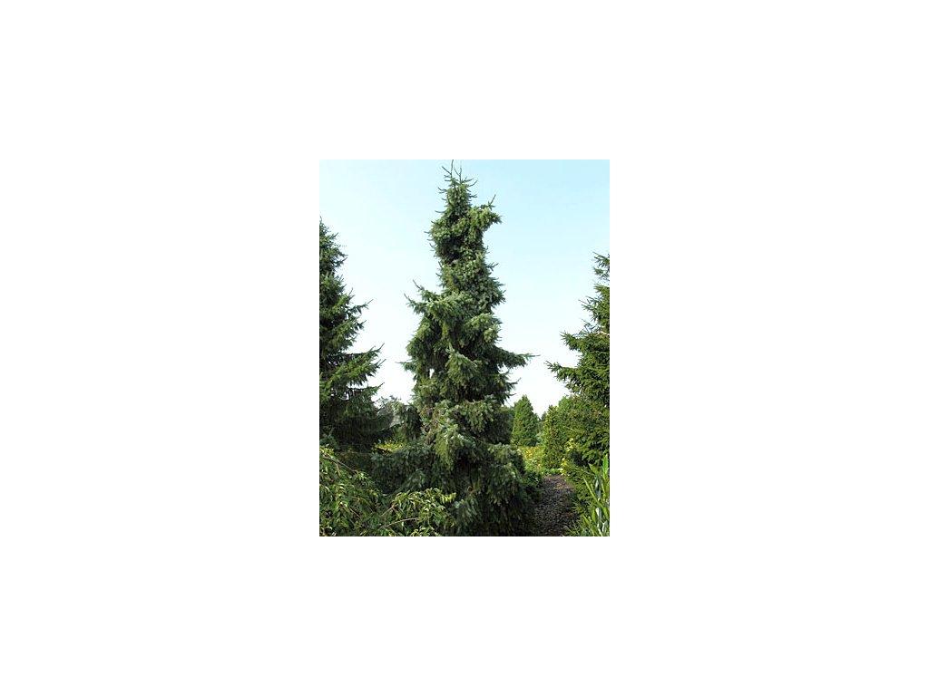Picea omorika ´Pendula´  Smrk omorika ´Pendula´