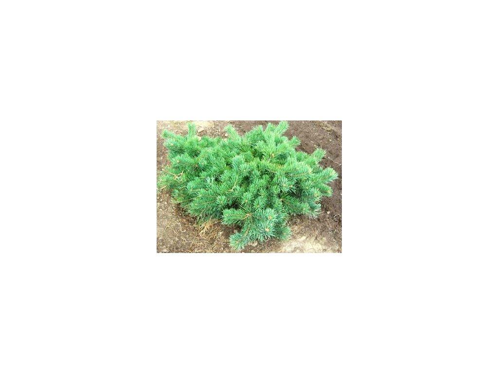 Pinus sylvestris 'Hillside Creeper'  Borovice lesní 'Hillside Creeper'