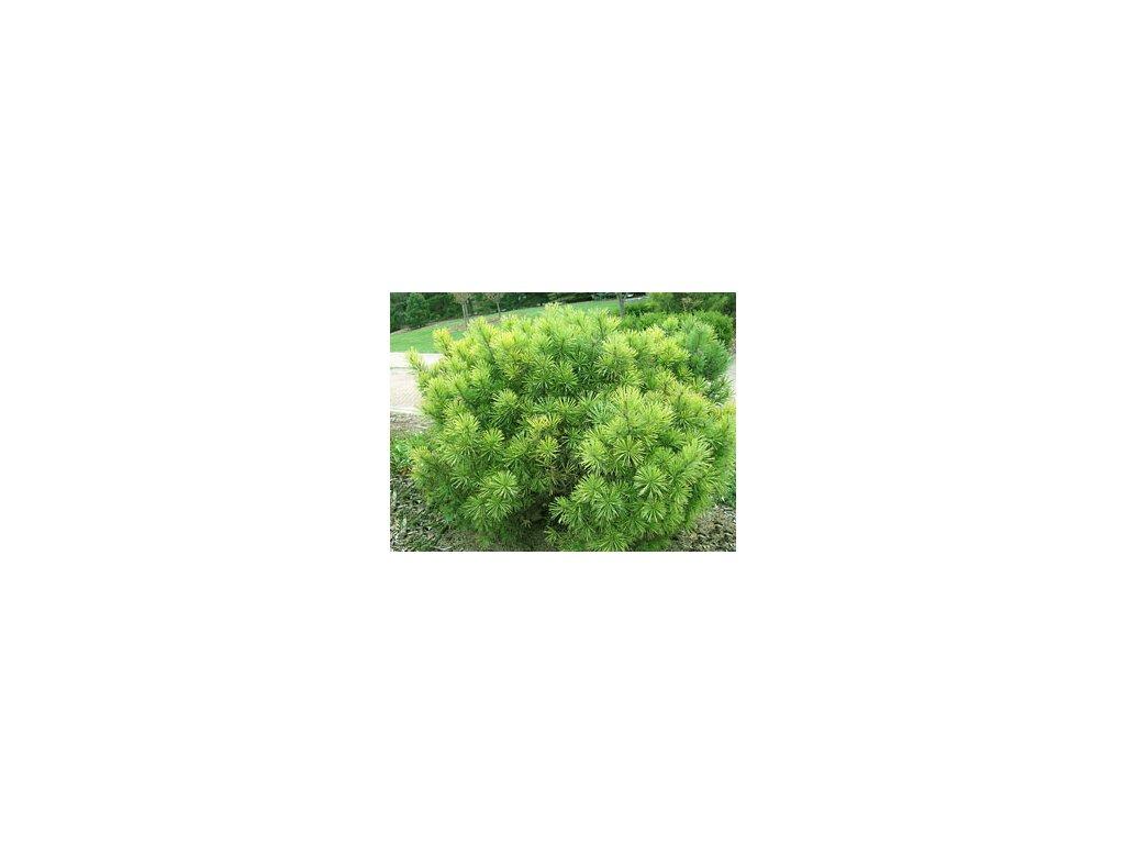 Pinus mugo Hesse  Borovice kleč Hesse