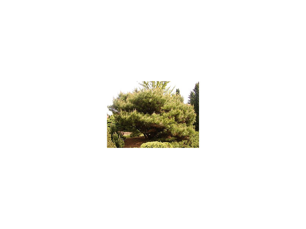 Pinus densiflora 'Umbraculifera'  Borovice hustokvětá ´Umbraculifera