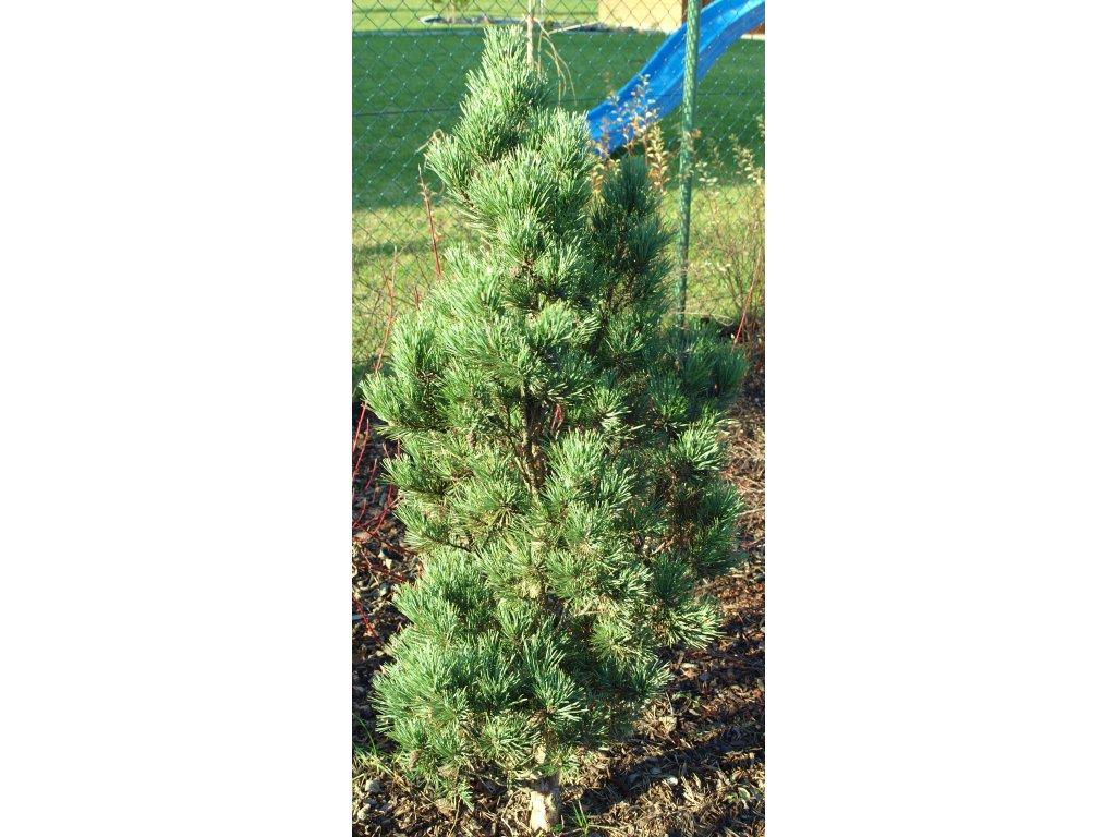 Pinus sylvestris ´Fastigiata´  Borovice lesní ´Fastigiata´