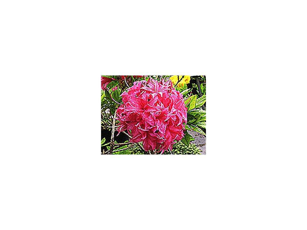 Azalea knaphill Homebush - velkokvětá  Velkokvětá azalka Homebush