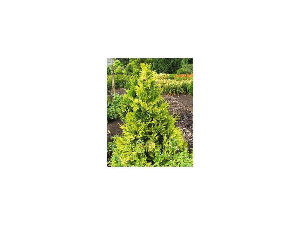 Chamaecyparis lawsoniana ´Golden King´  Cypřišek lawsonův ´Golden Wonder´