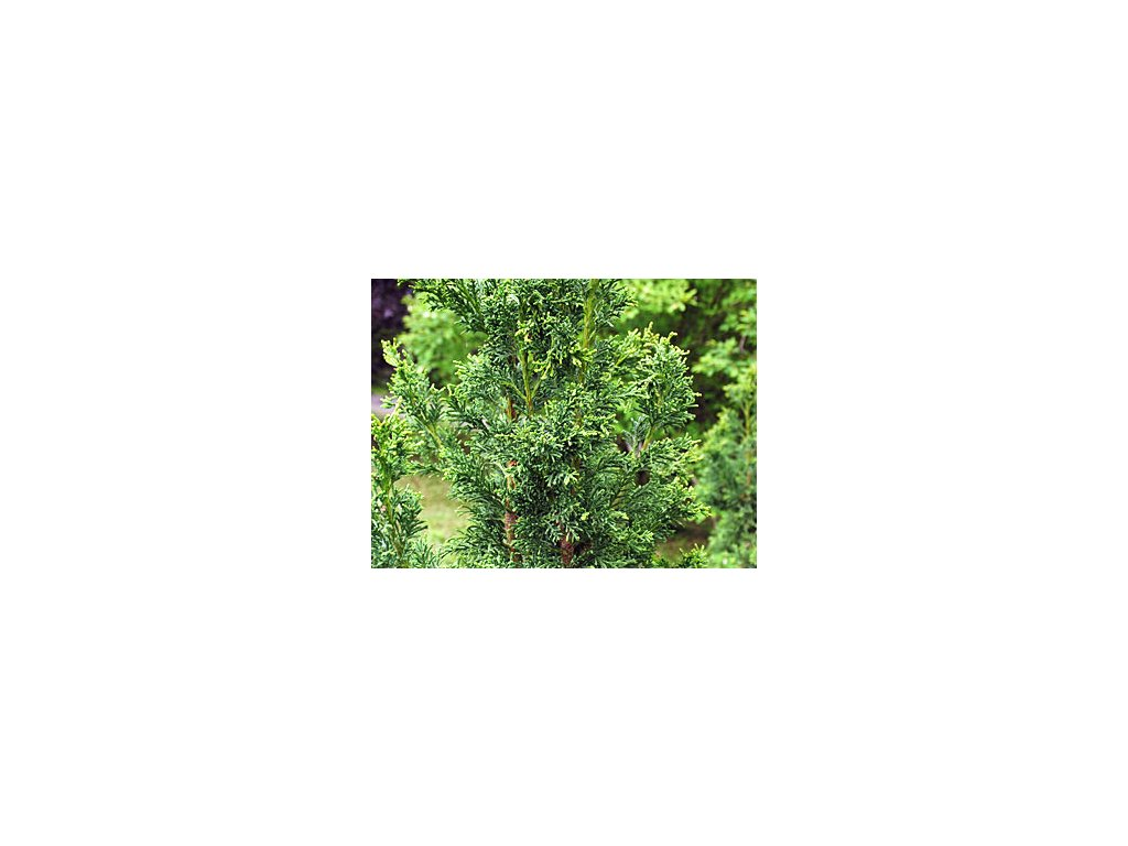 Chamaecyparis obtusa ´Drath´  Cypřišec tupolistý ´Drath´