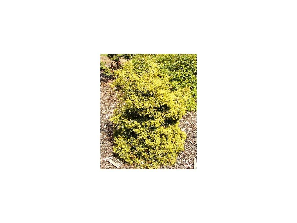 Chamaecyparis obtusa ´Kamarachiba´  Cypřišek tupolistý ´Kamarachiba´