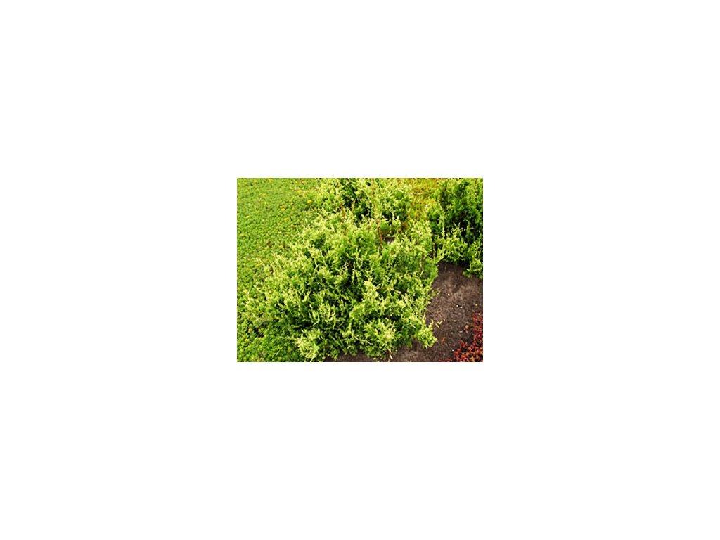 Chamaecyparis pisifera ´White Beauty´  Cypřišek hrachonosný ´White Beauty´
