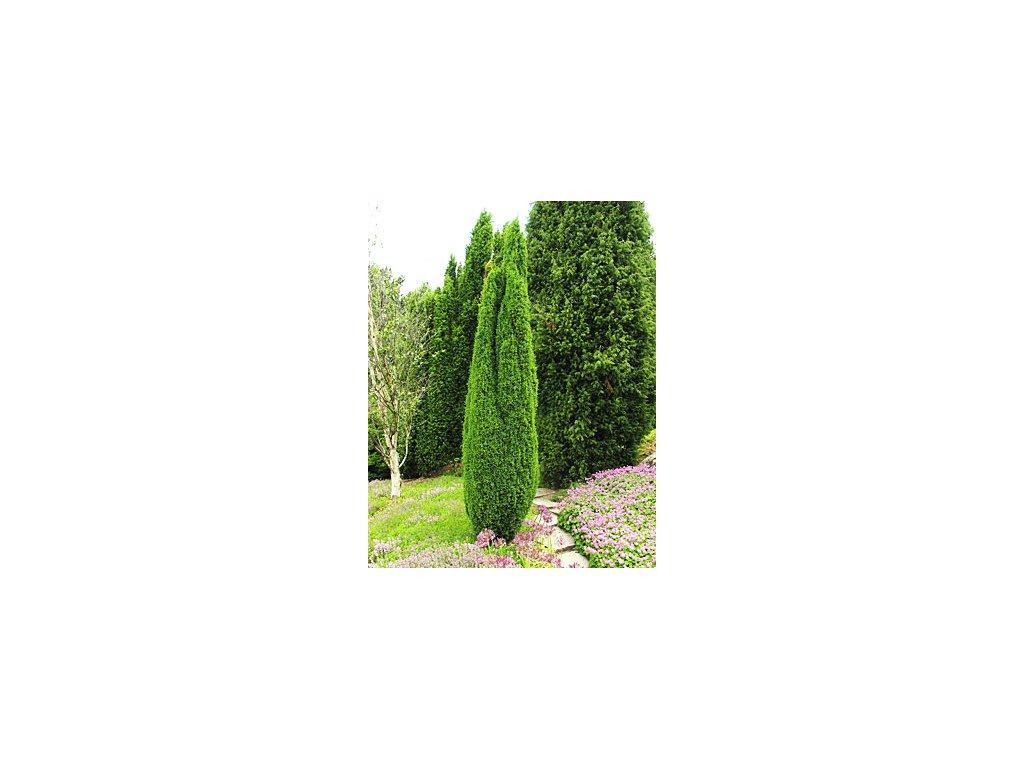 Juniperus communis ´Compressa´  Jalovec obecný ´Compressa´