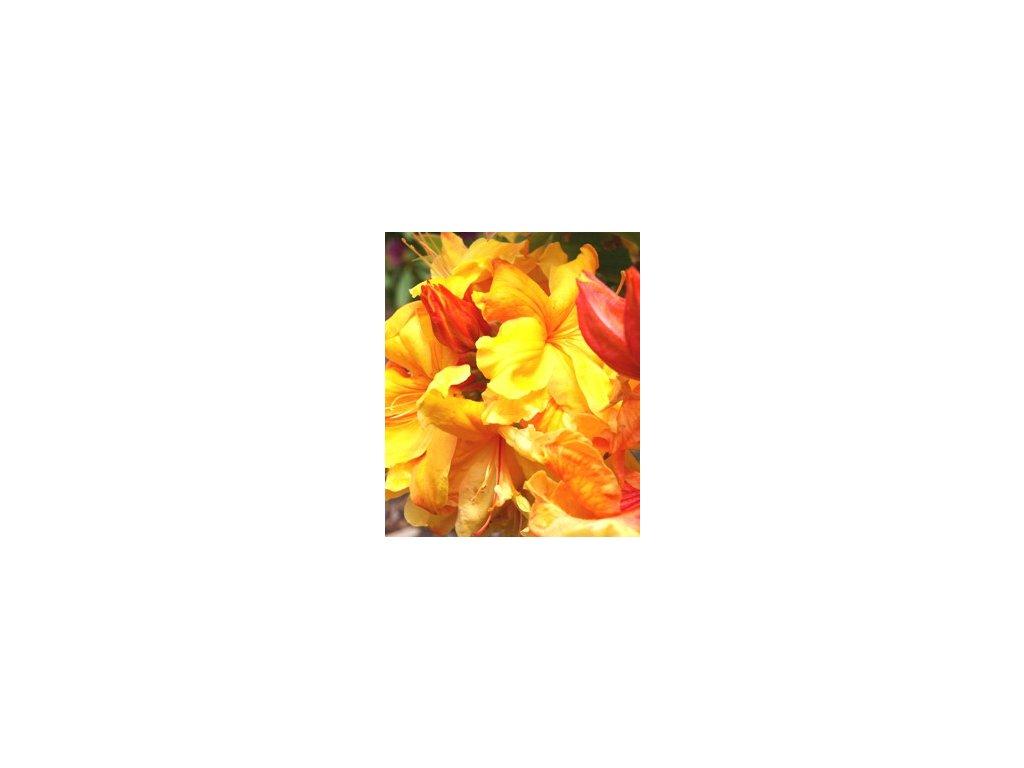 Azalea knaphill Sunte Nectarine- velkokvětá 10 - 15 cm  Velkokvětá azalka Sunte Nectarine