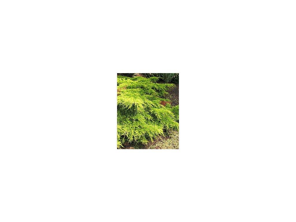 Juniperus chinensis 'Old Gold'  Jalovec čínský 'Old Gold'