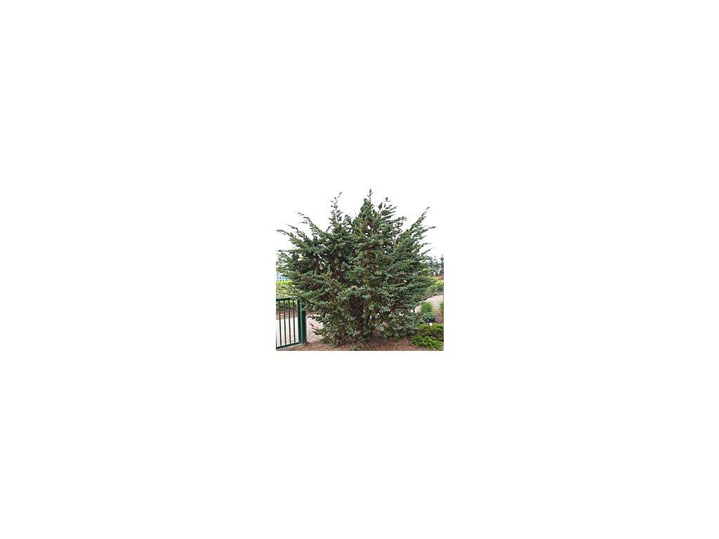 Juniperus squamata ´Meyeri´  Jalovec stěsnaný ´Meyeri´