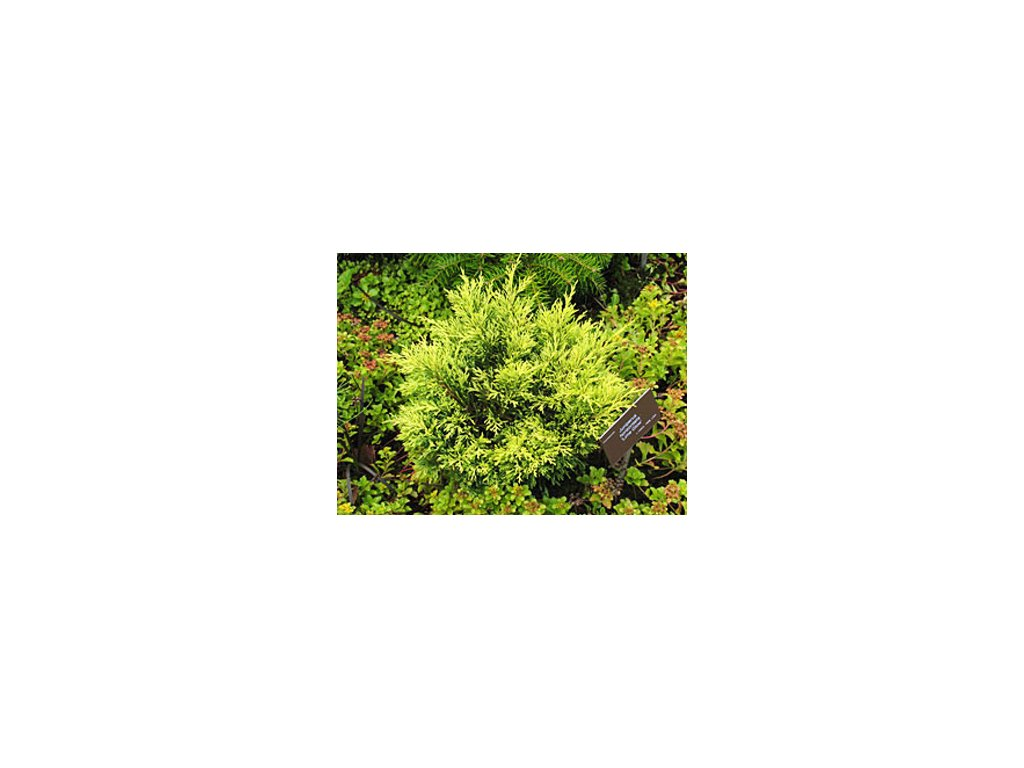 Juniperus horizontalis ´Limeglow´  Jalovec poléhavý ´Limeglow´