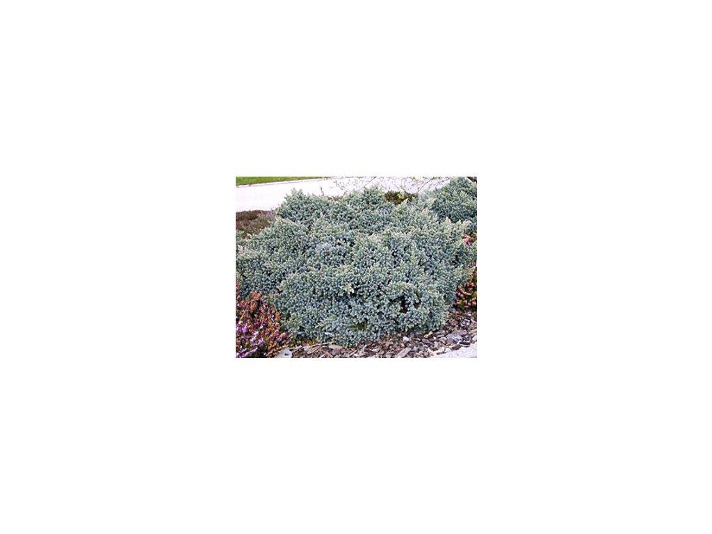 Juniperus squamata ´Blue Star´  Jalovec stěsnaný ´Blue Star´