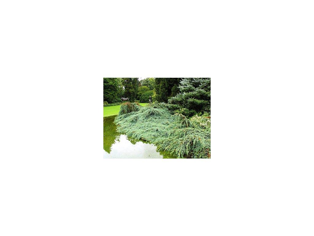 Juniperus squamata ´Blue Carpet  Jalovec stěsnaný ´Blue Carpet´