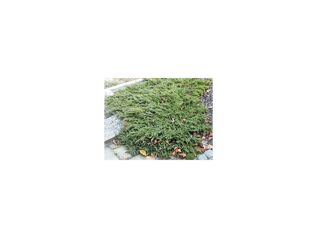 Juniperus communis ´Green Carpet´  Jalovec obecný ´Green Carpet´