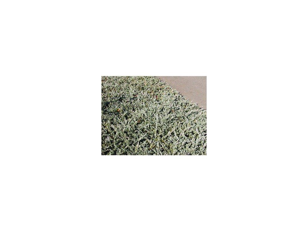 Juniperus horizontalis ´Wiltonii´  Jalovec polehlý ´Wiltonii´