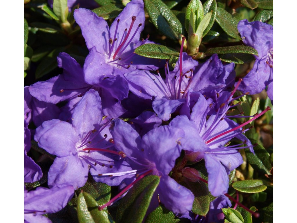 Rhododendron impeditum Azurika - zakrslý  Zakrslý pěnišník Azurika