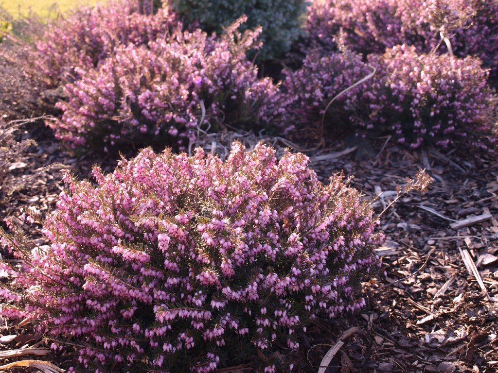 Erica carnea Kramer´s Rote - růžová  Vřesovec pleťový Kramer´s Rote