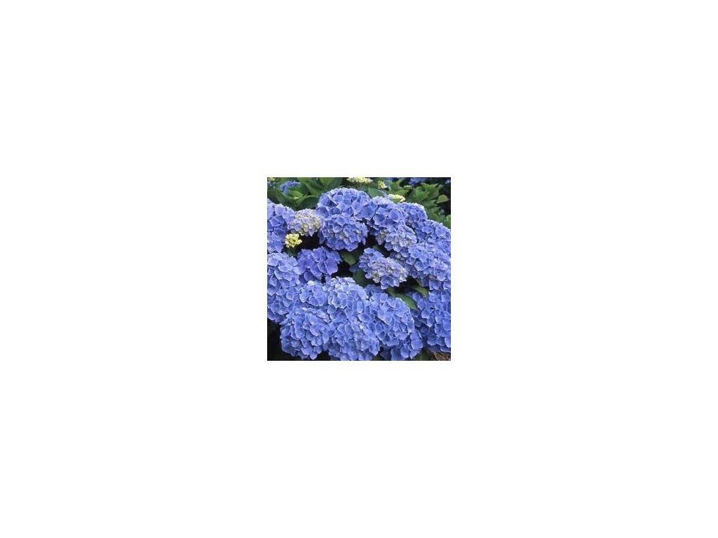 Hydrangea macrophylla ´Bodensee´  Hortenzie velkolistá 'Bodensee'