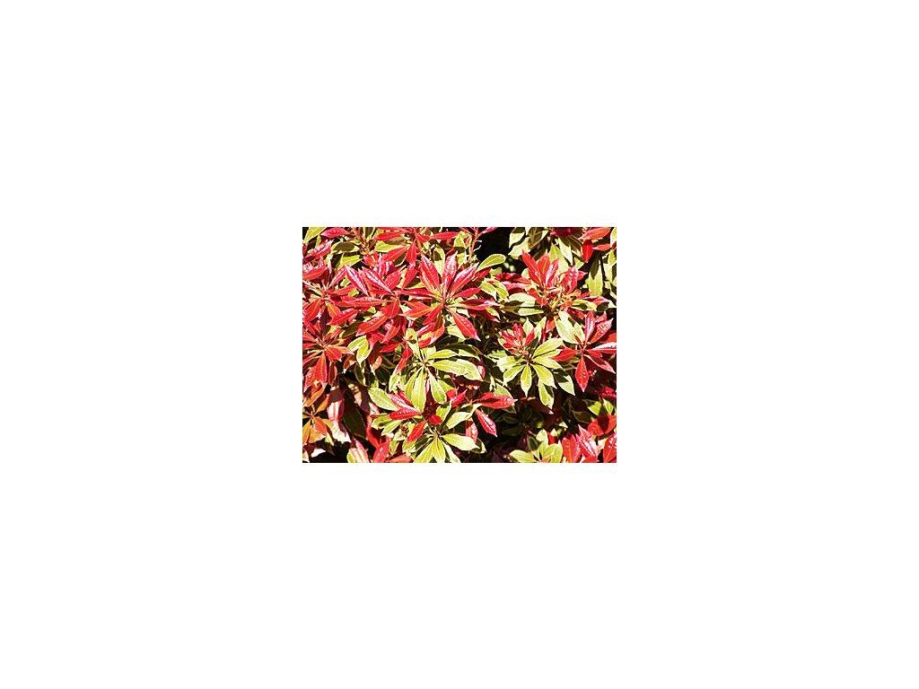 Pieris japonica ´Minor´  Pieris japonský ´Minor´