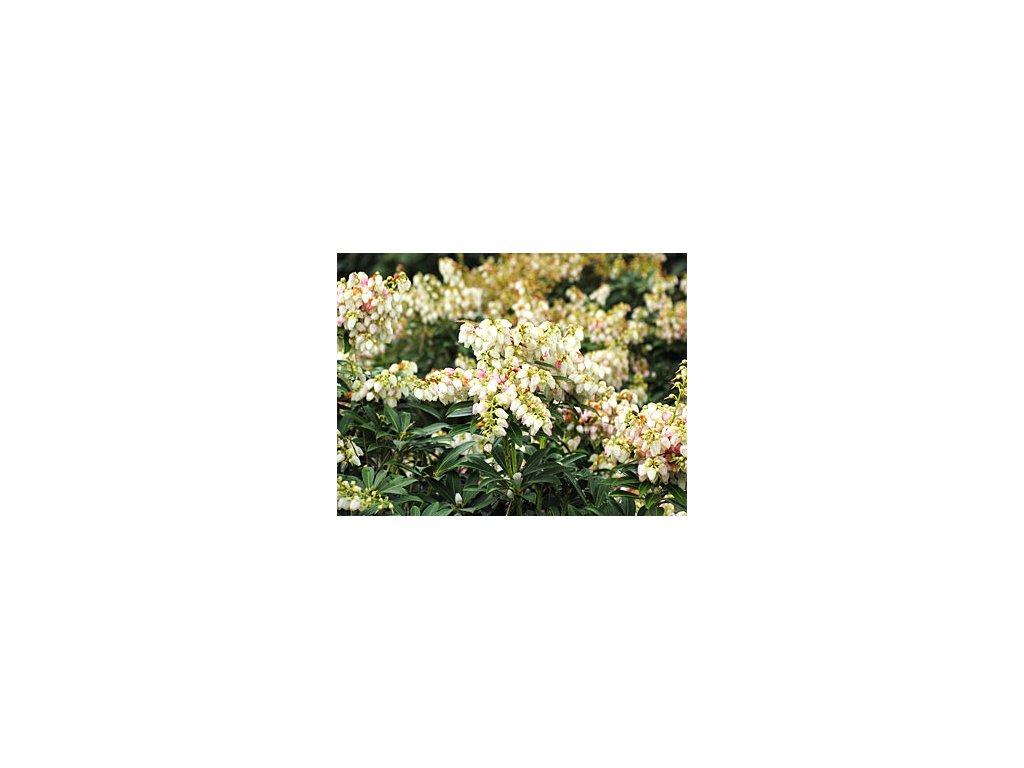 Pieris japonica ´Debutatne´  Pieris japonský ´Debutante´