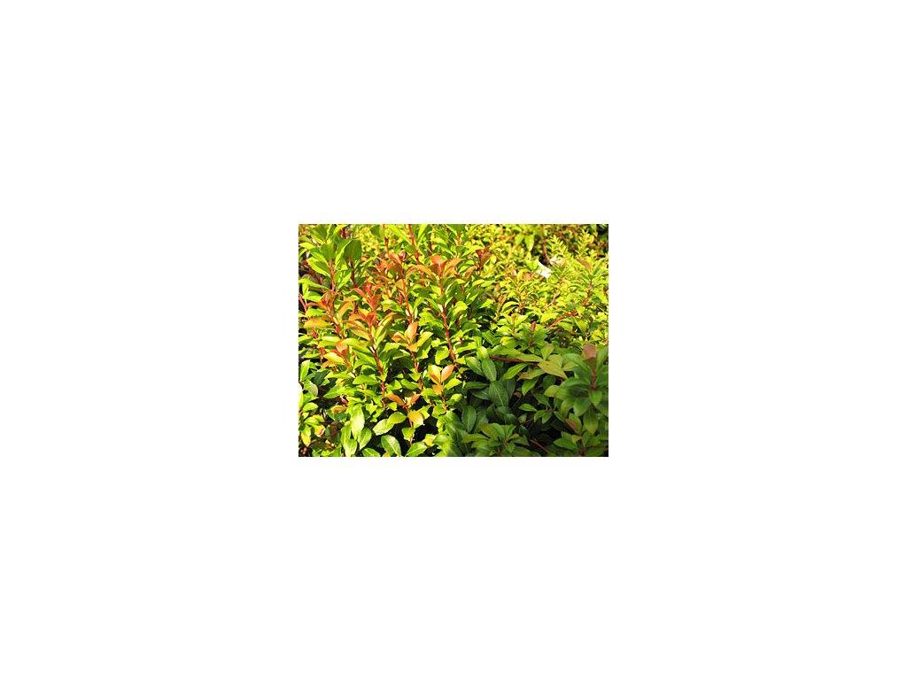 Pieris japonica ´Little Heath Green'  Pieris japonský ´Little Heath Green'