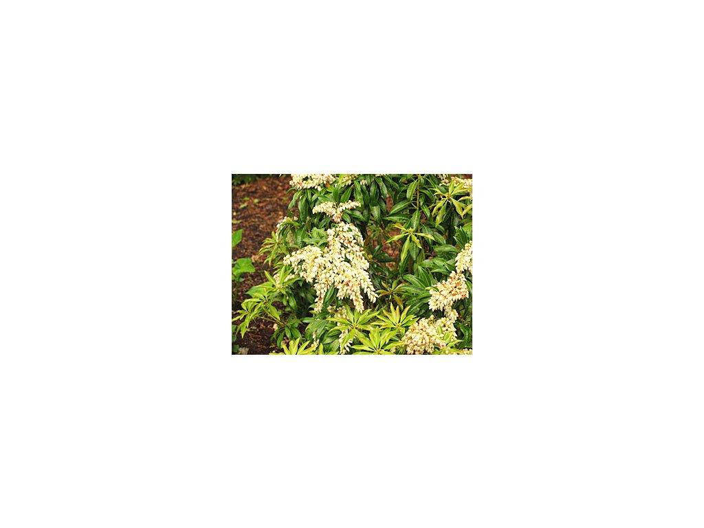 Pieris japonica ´Scarlett O´Hara´  Pieris japonský ´Scarlett O´Hara´