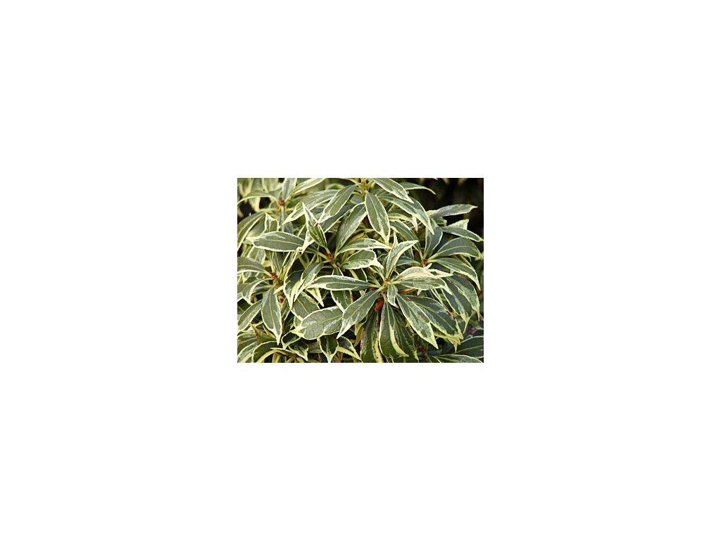 Pieris japonica ´Carnaval´  Pieris japonský ´Carnaval´