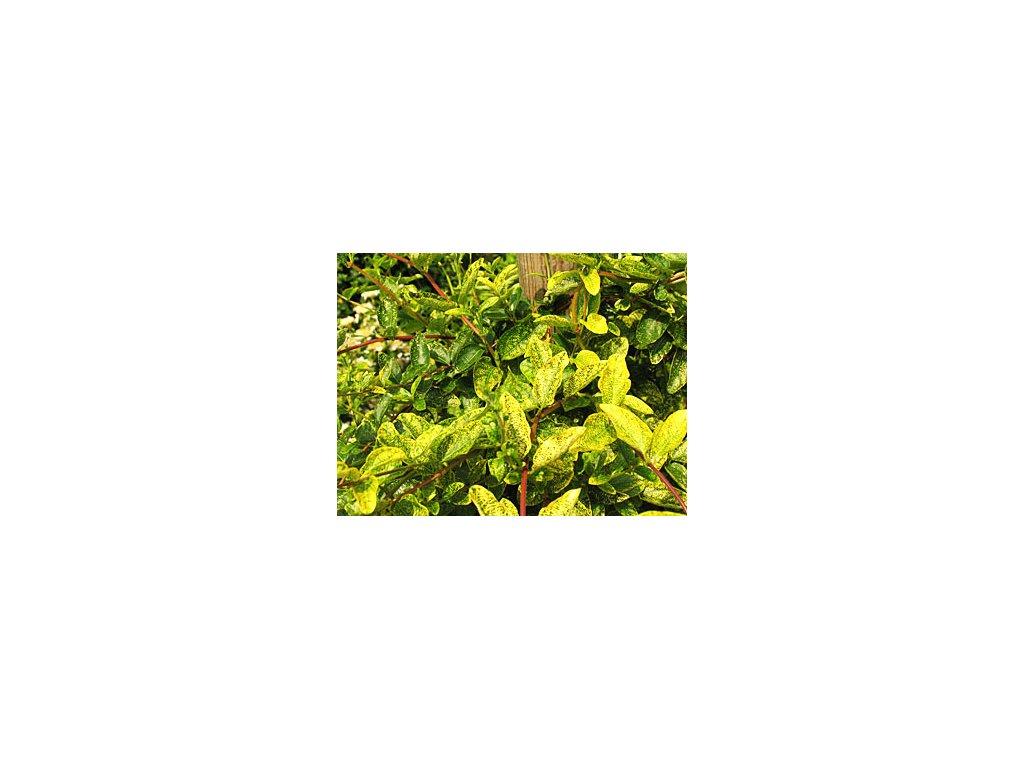 Lonicera japonica 'Aureoreticulata'  Zimolec japonský 'Aureoreticulata'