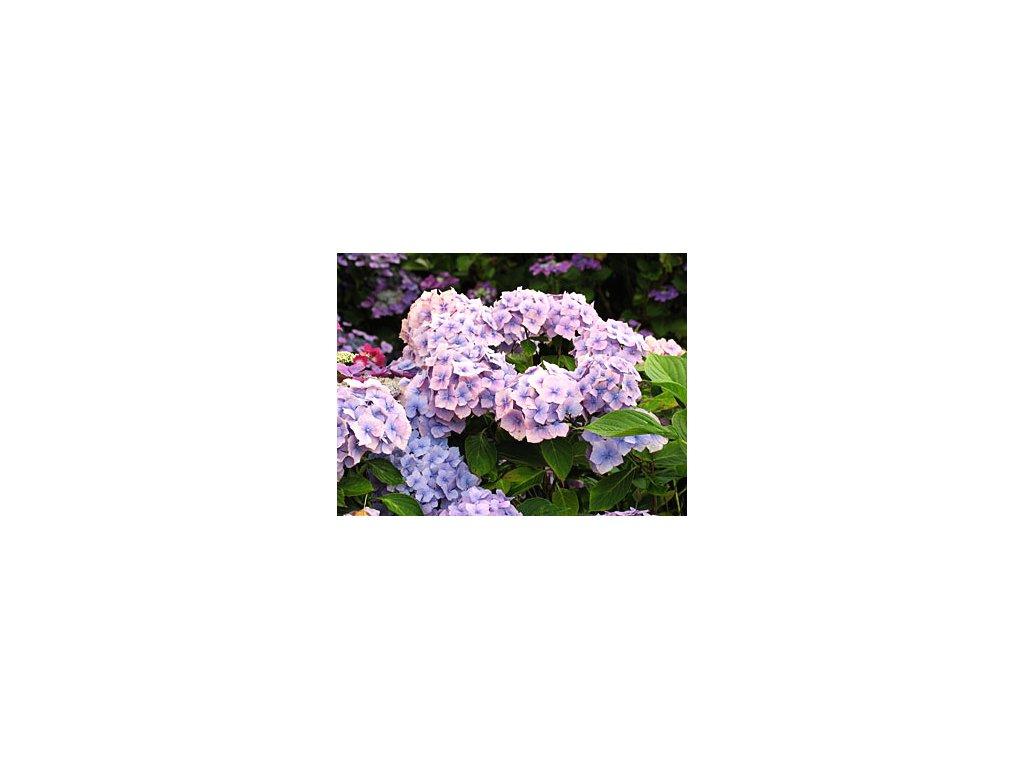 Hydrangea macrophylla ´Holstein´  Hortenzie velkolistá ´Holstein´
