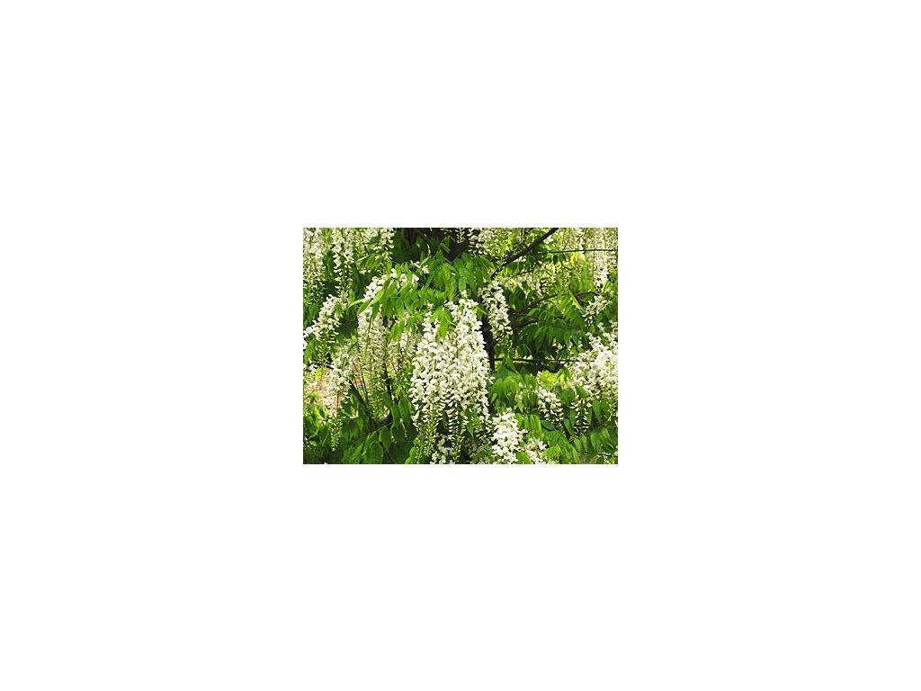 Wisteria sinensis 'Alba'  Vistárie čínská 'Alba'