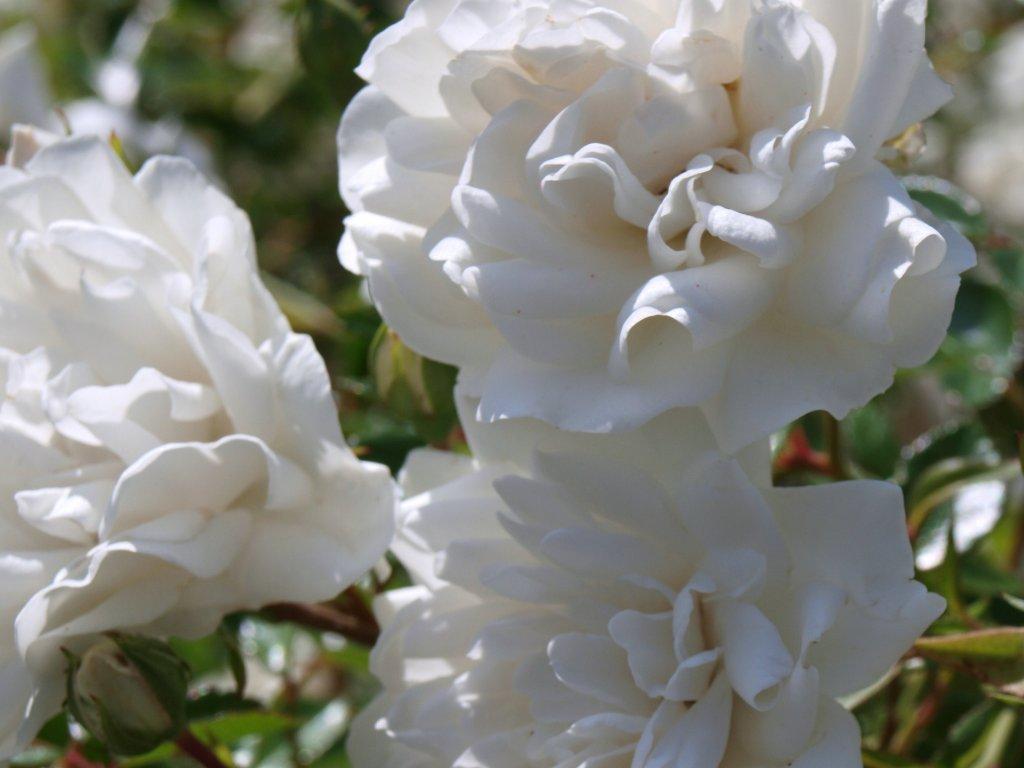 Rosa Swany - pokryvná  Růže pokryvná Swany