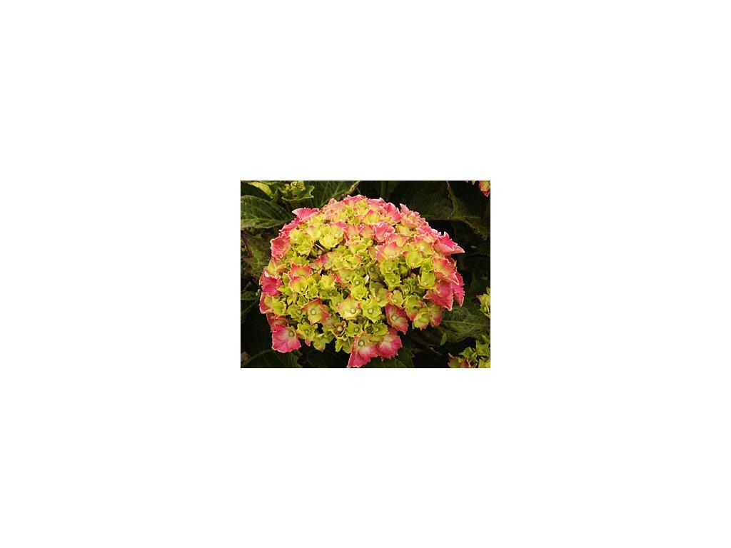 Hydrangea macrophylla ´Masja´  Hortenzie velkolistá ´Masja´