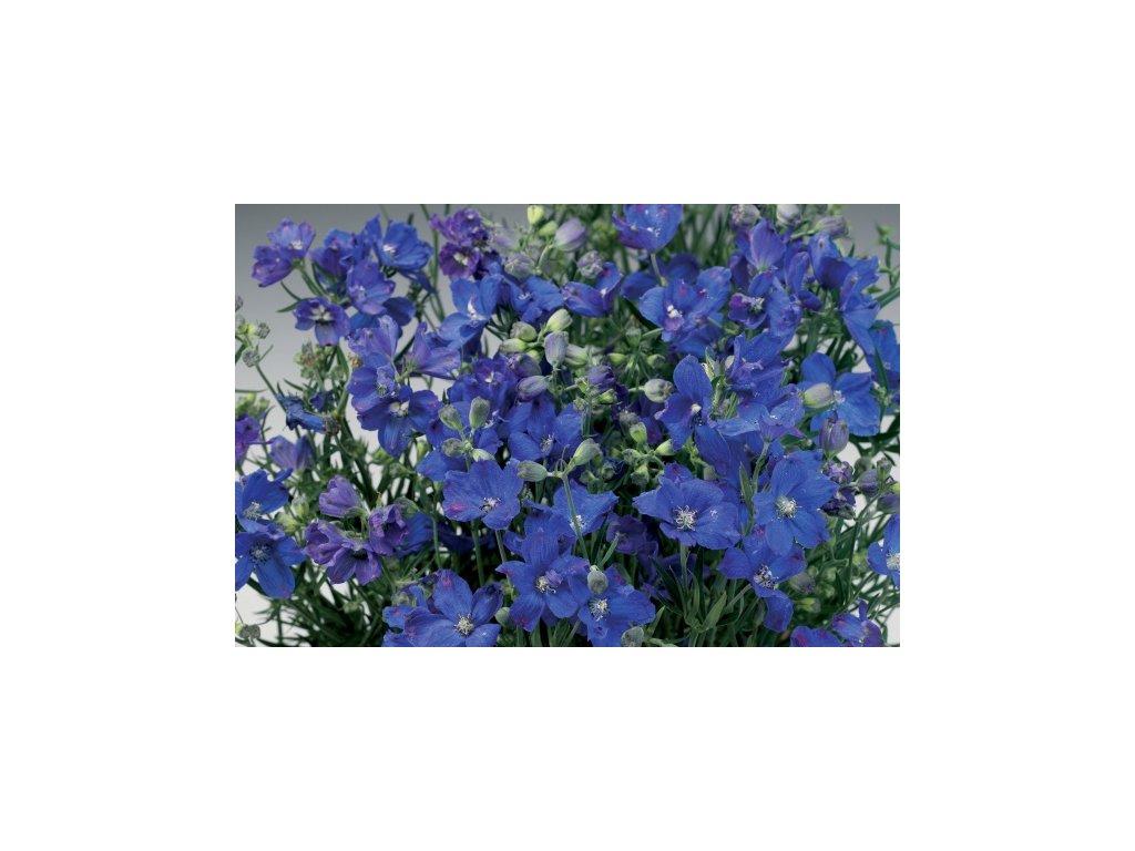 Delphinium grandiflorum 'Delfix Blue'  Ostrožka stračka 'Delfix Blue'