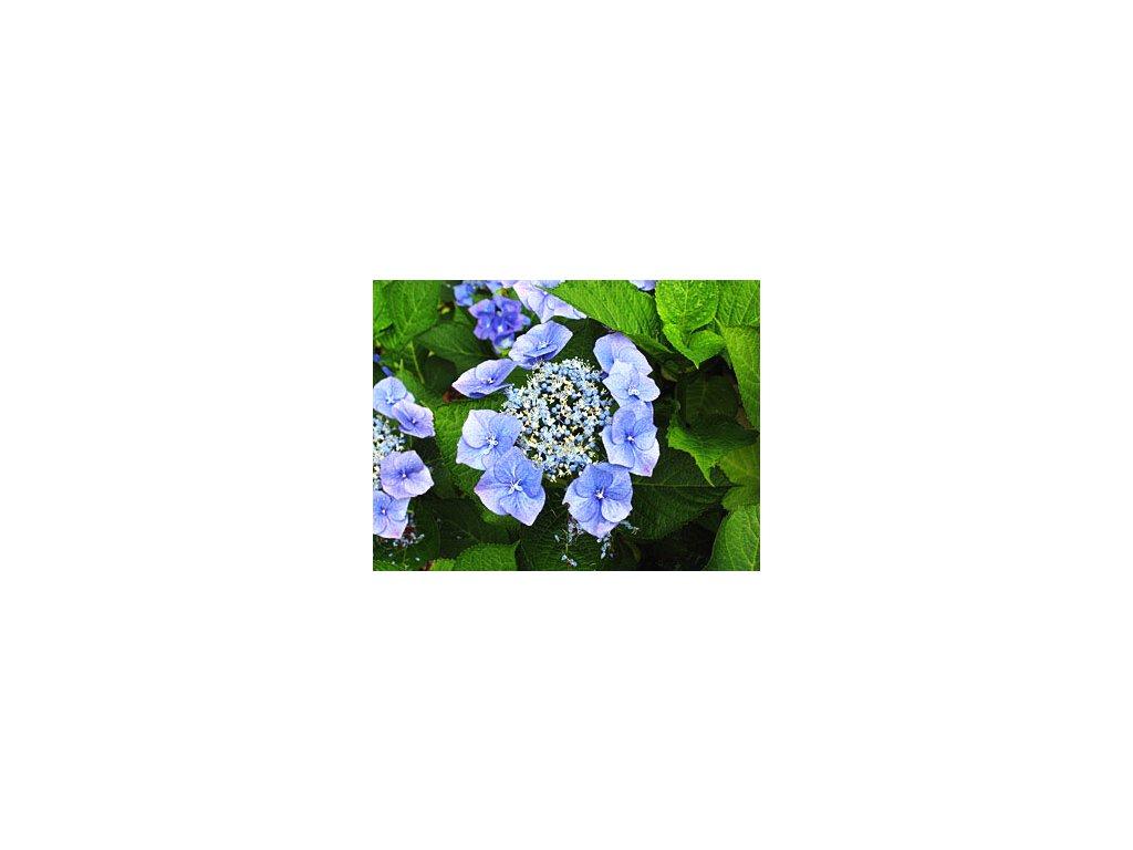 Hydrangea macrophylla ´Taube´  Hortenzie velkokvětá ´Taube´