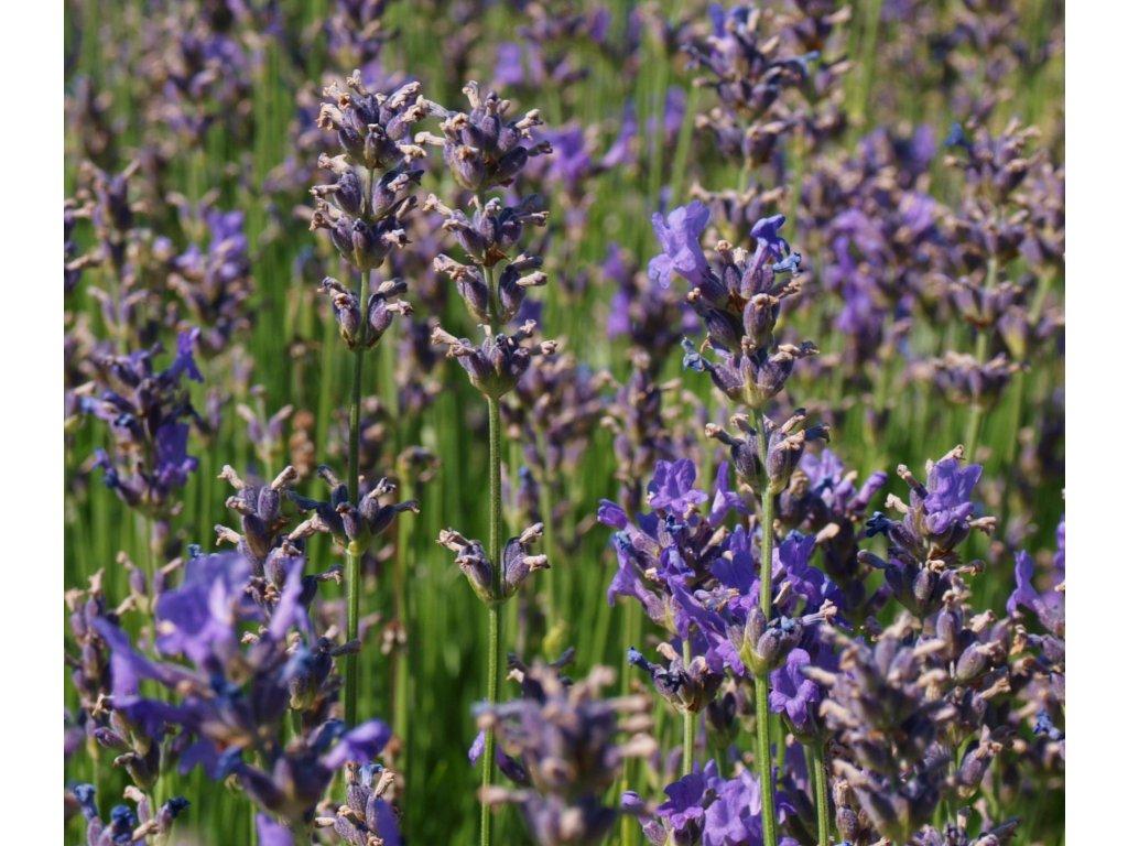 Lavandula angustifolia 'Blue Scent'  Levandule lékařská 'Blue Scent'