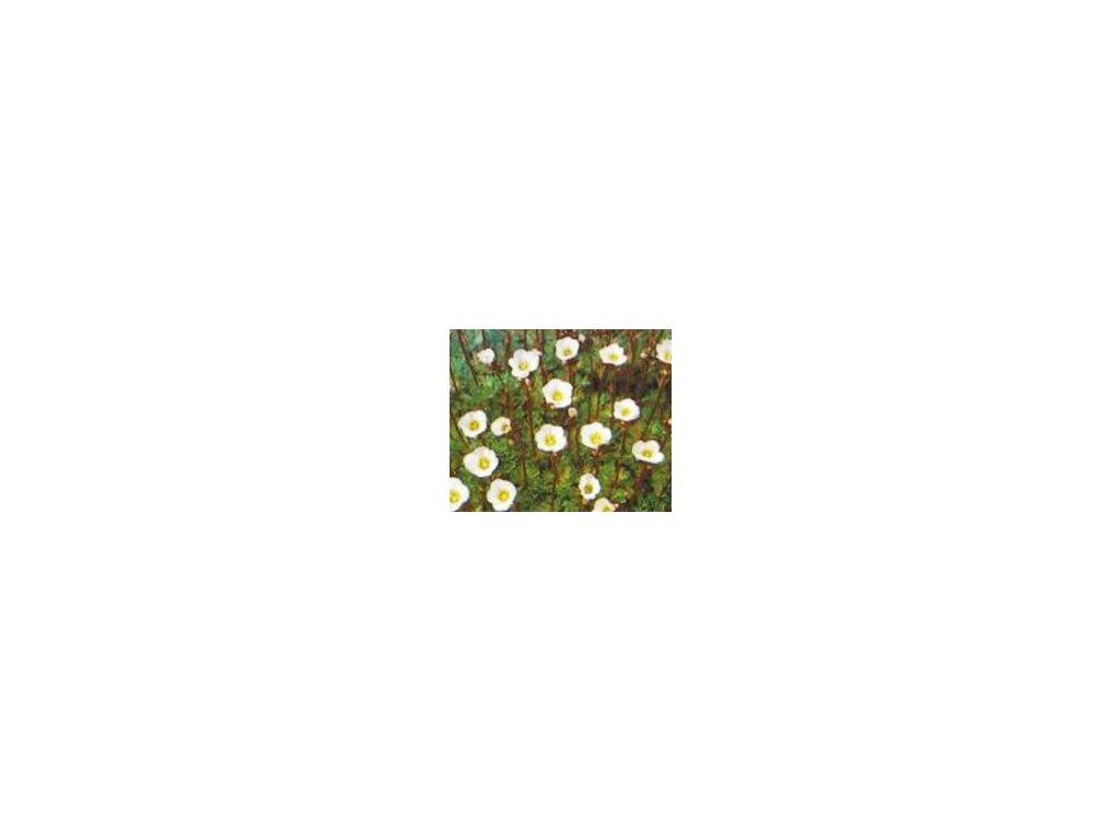 Saxifraga arendsii 'Schneeteppich'  Lomikámen 'Schneeteppich'