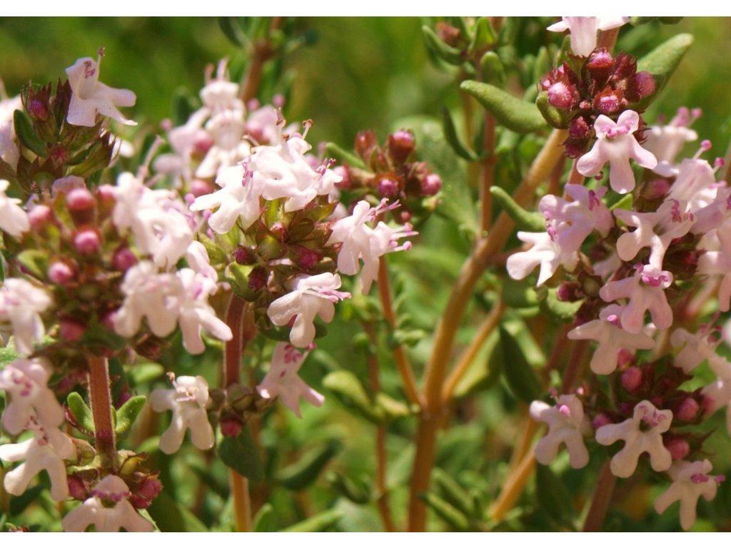 Thymus praecox ´Coccineus´  Mateřídouška časná ´Coccineus´