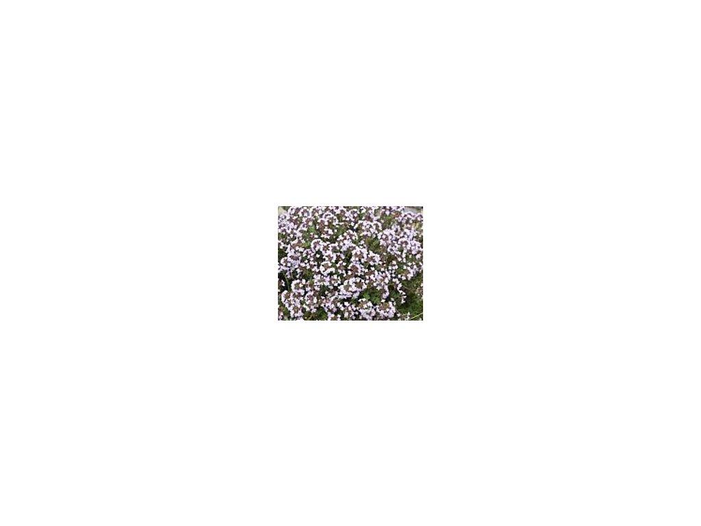Thymus vulgaris 'Compactus'  Mateřídouška tymián 'Compactus'