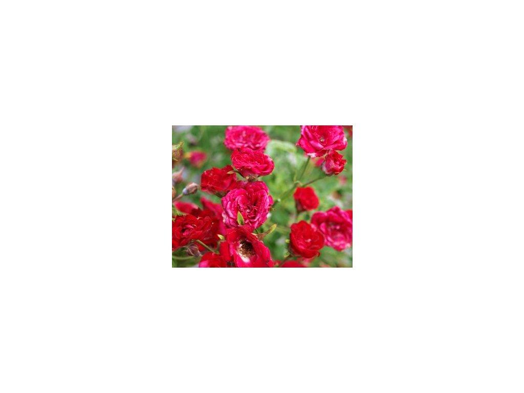 Rosa Red Cascade - pokryvná  Růže pokryvná Red Cascade