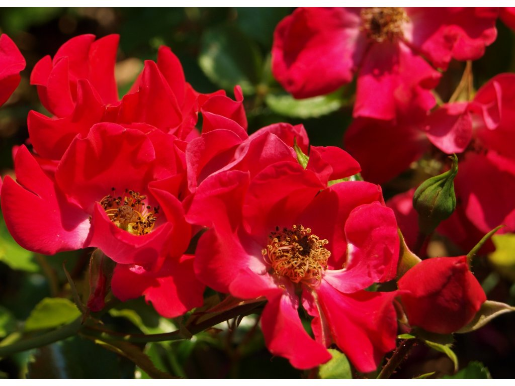 Rosa Fairy Queen - pokryvná  Růže pokryvná Fairy Queen