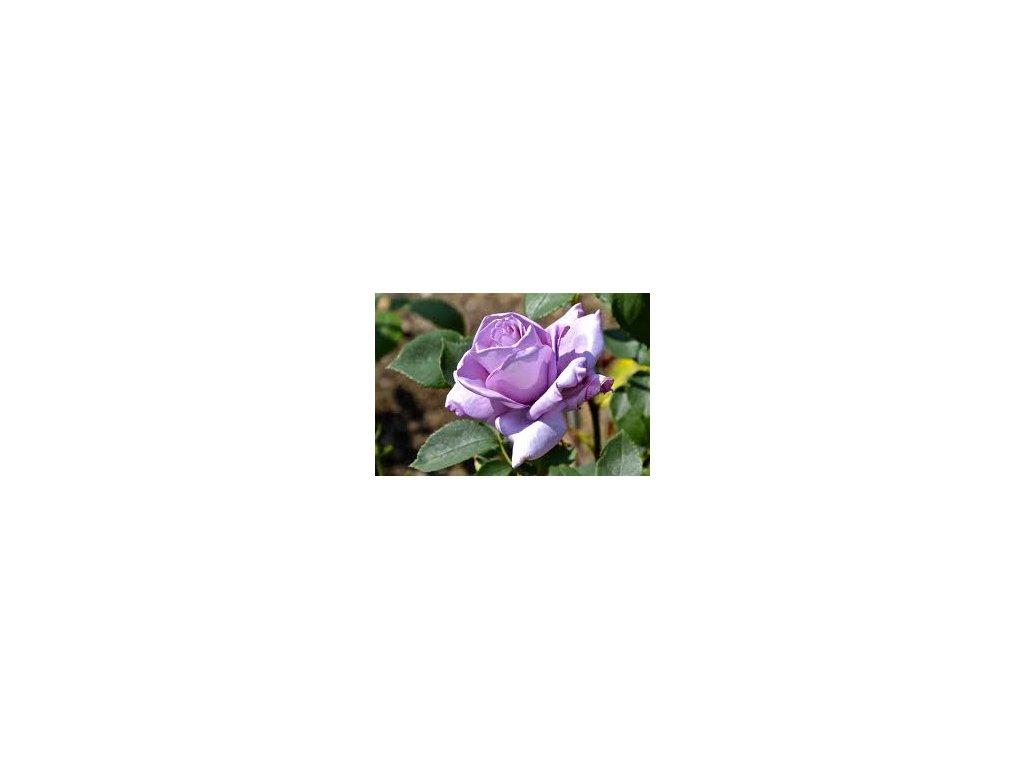 Rosa Sissi - velkokvětá  Růže velkokvětá Sissi