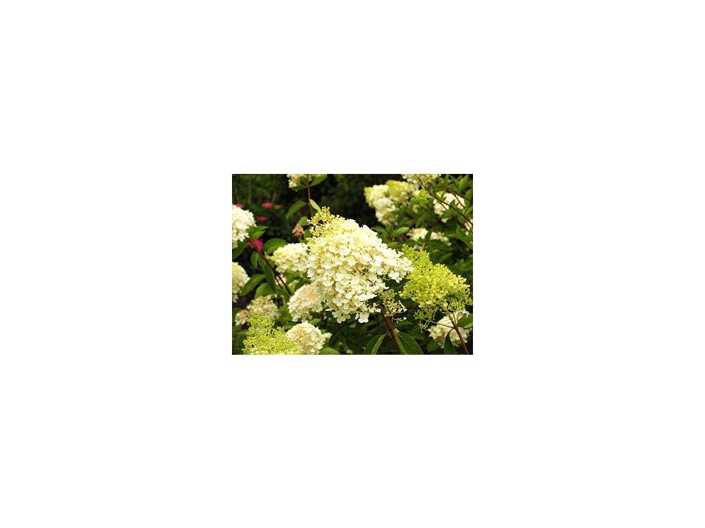 Hydrangea paniculata ´Grandiflora´  Hortenzie latnatá ´Grandiflora´