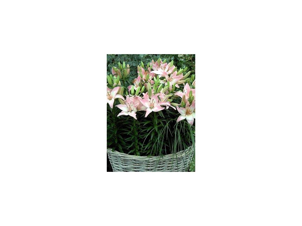 Lilium Tiny Tood - hrnková (2 ks)  Lilie Tiny Tood