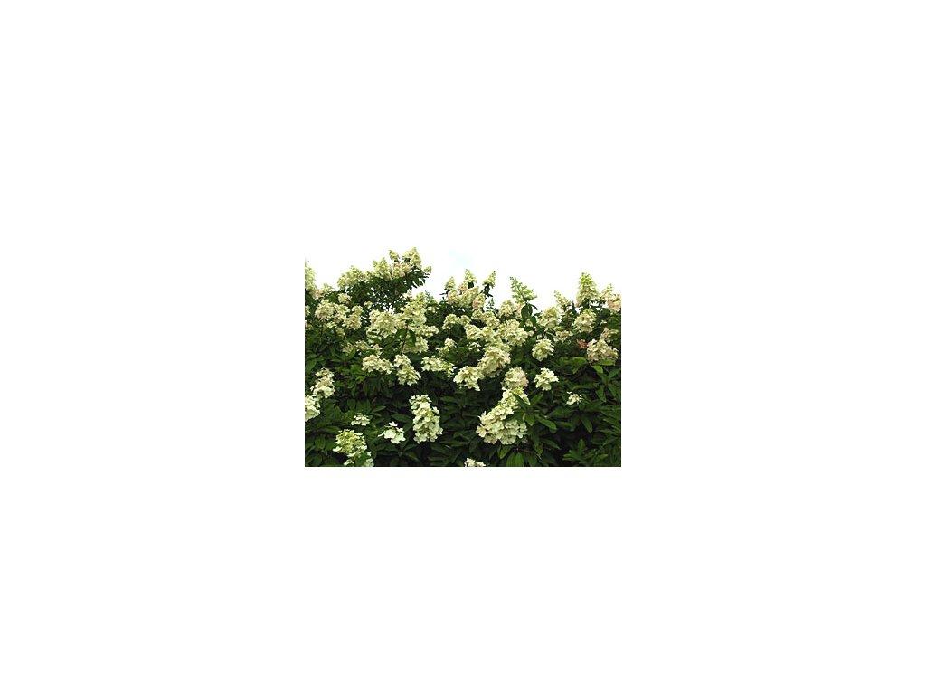 Hydrangea paniculata ´Unique´  Hortenzie latnatá ´Unique´