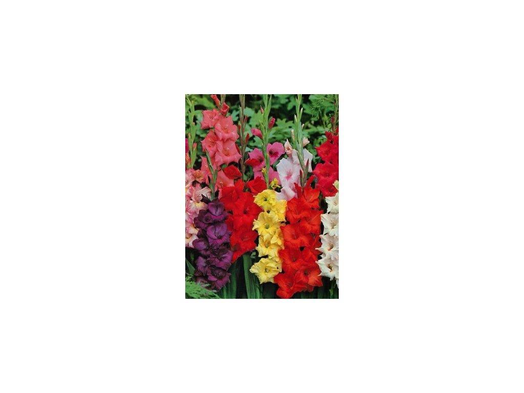 Velkokvěté gladioly - směs barev (50 ks)  Velkokvěté mečíky - směs barev