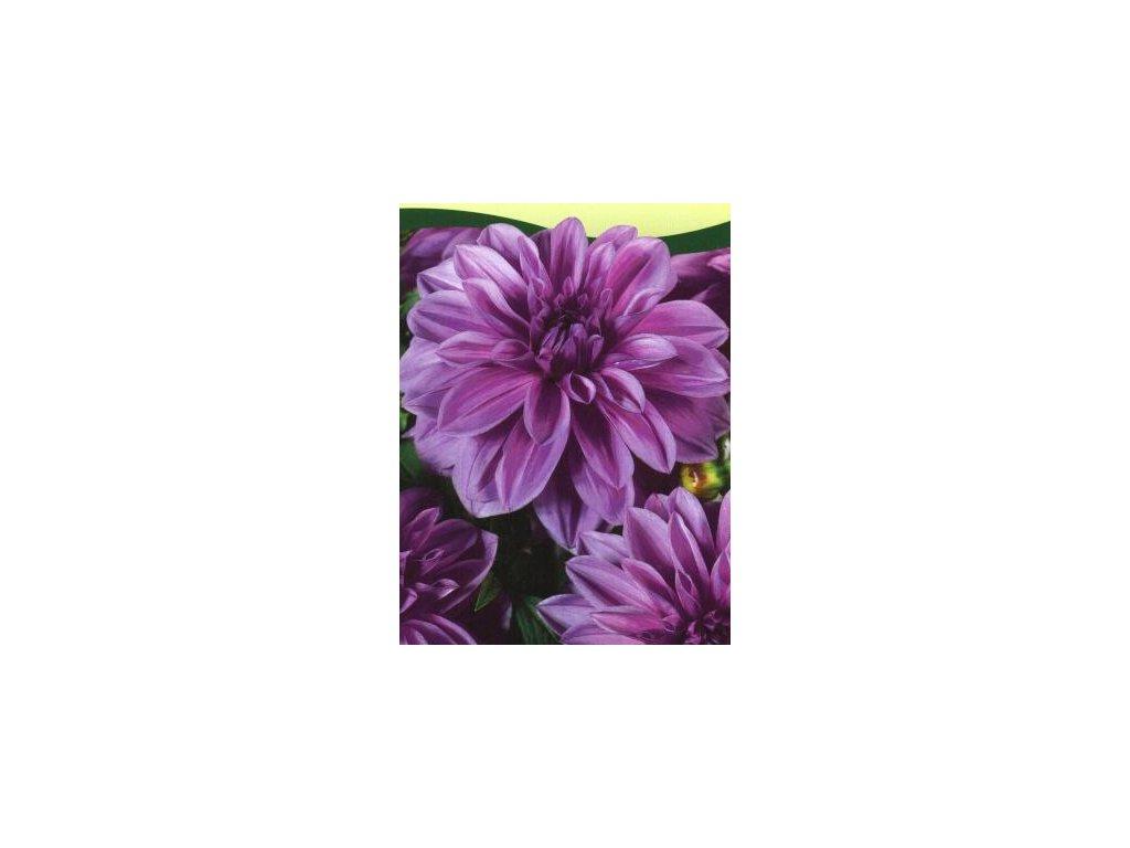 Dahlia Lilac Time  Jiřina Lilac Time
