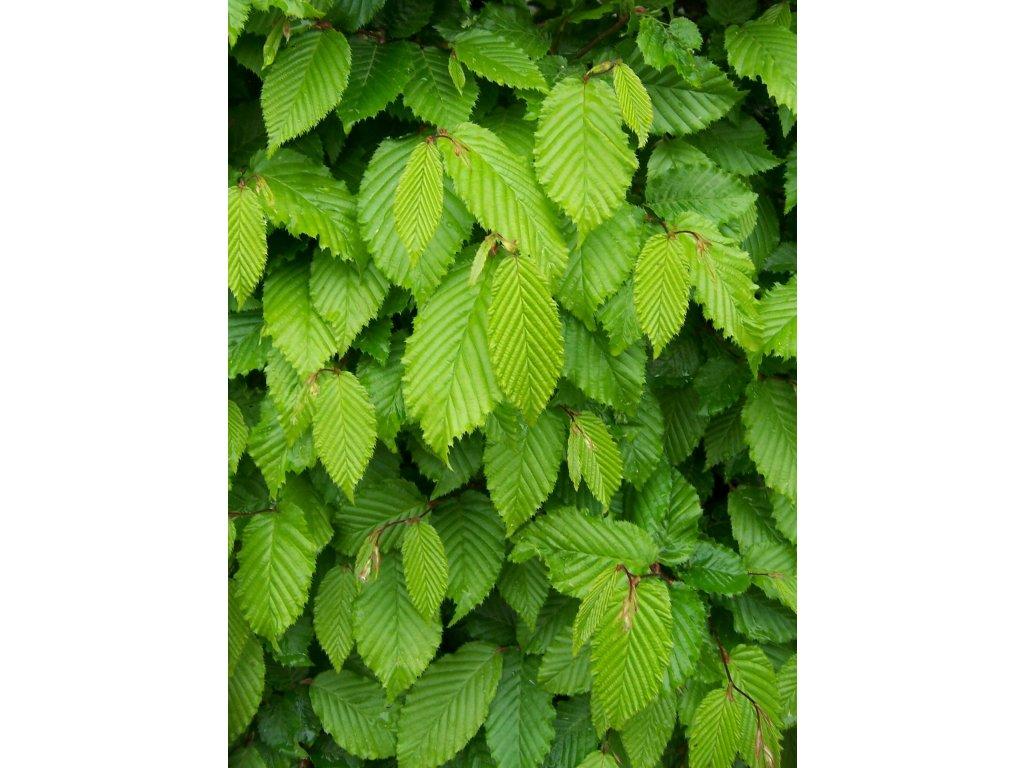 leaves 1129330 1920